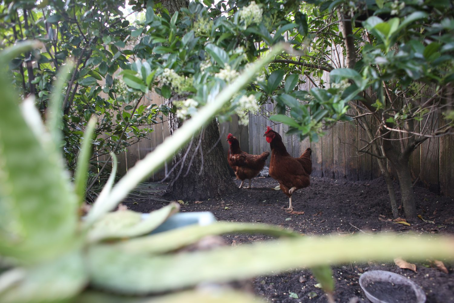 Chickens roam Mary Dewey's backyard where she keeps nine hens on April 9, 2014, in Gainesville, Fla.