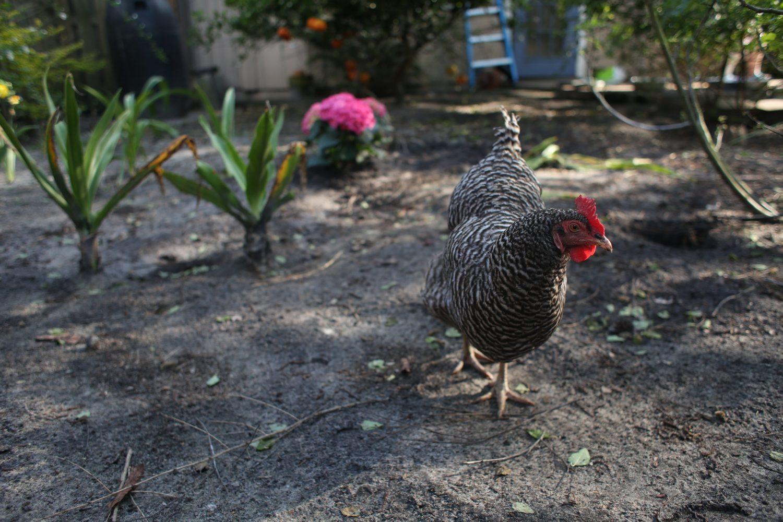 A chicken roams Mary Dewey's backyard where she keeps nine hens on April 9, 2014, in Gainesville, Fla.