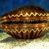 Florida bay scallops typically reach a shell height of three inches and have a life expectancy of one year. They have tiny blue eyes that help detect