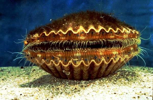Florida bay scallops typically reach a shell height of three inches and have a life expectancy of one year. They have tiny blue eyes that help detect movement, and they can swim backward by opening and closing the two shells.