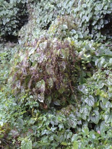 The invasive air potato vine has met its match with the introduction of the air potato leaf beetle. This beetle could control the aggressive plant.