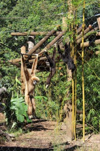 All three white-handed gibbons at the Santa Fe Teaching Zoo brachiate down a rope in the enclosure. Brachiation is the swinging method of movement typical to white-handed gibbons.