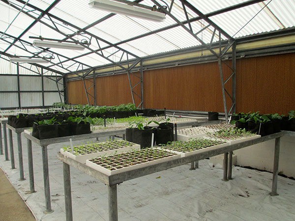 Multiple types of leafy greens and herbs grow in Loften High School's organic greenhouse. The school will sell the plants for use in other district cafeterias and gardens.