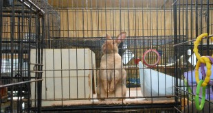 A rabbit under the care of Gainesville Rabbit Rescue looks out from its cage. The rescue currently has around 100 rabbits in its care, spread out among 21 foster homes in the area and a bunny barn in Williston, Fla.