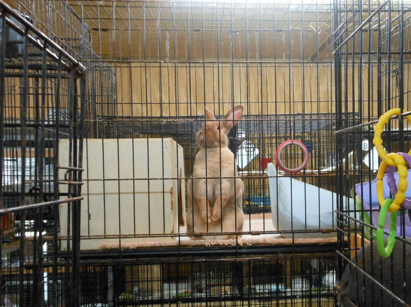 A Rabbit Under The Care Of Gainesville Rabbit Rescue Looks Out From Its  Cage The