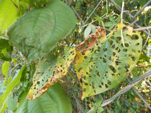 Skeletonization of a Gainesville air potato leaf shows why the air potato beetle is considered one of the most successful biocontrol approaches in recent decades compared to other projects — current or past.