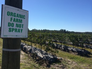 Organic blueberry farms located in the entrance of Island Grove Winery.