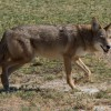 A coyote walks across a golf course in broad daylight. Coyotes present a potential problem to Florida ranchers, farmers and city residents alike, as predation is on the rise.