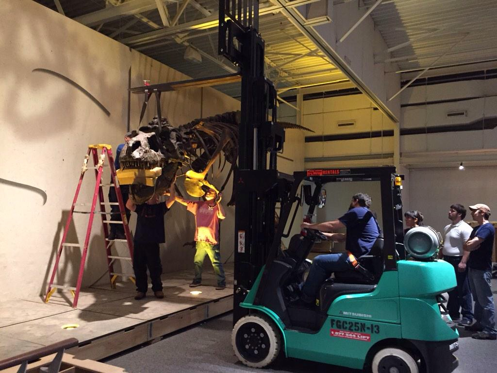 The Natural History Museum puts the head on T. rex Sue as the final step in installation for the traveling exhibit.
