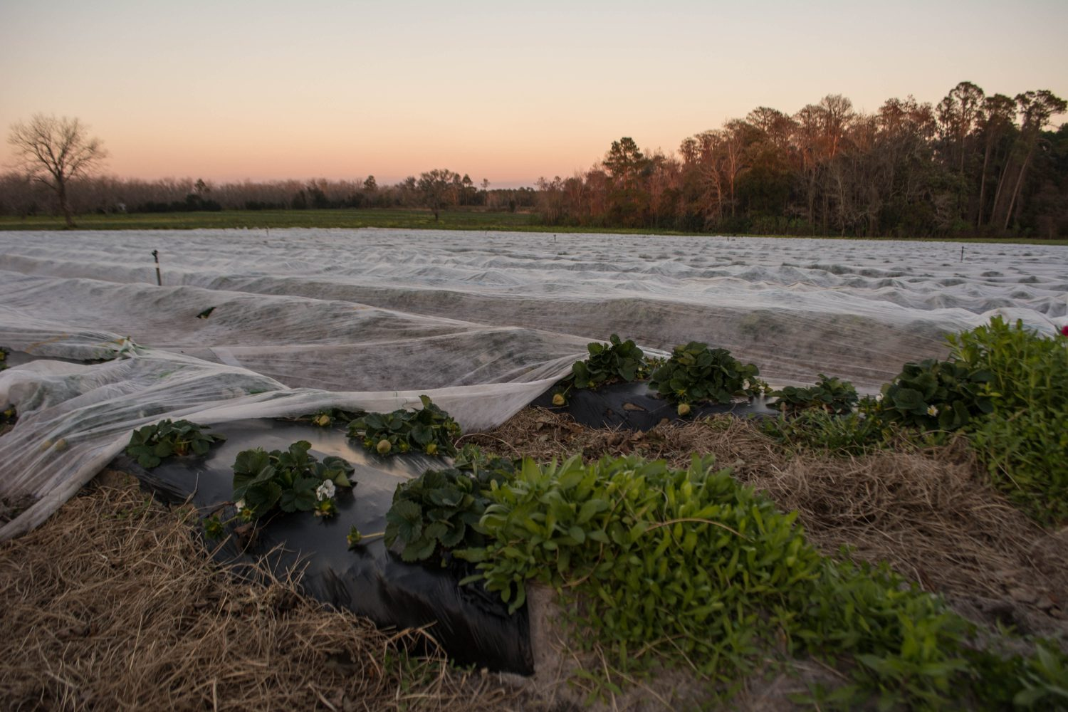 Strawberry fields at Brown's Farm are covered for the cold weather Thursday night, February 12, 2015.