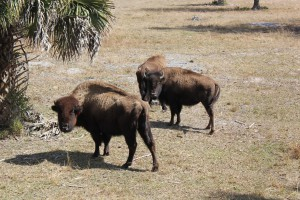 A herd of American bison gather on Dixie Sportsman's Hunting Preserve February 21. The 320-acre preserve is currently for sale.