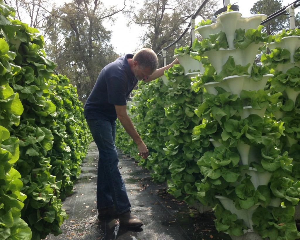 Dave Myler, owner of Blue Grotto, carefully grooms the lettuce for harvest this week. The hydroponic farm currently uses about 5,000 to 8,000 gallons of spring water each day, pumped from the cave at Blue Grotto Spring.  Blue Grotto Farm harvests about 3,000 heads of lettuce each week.