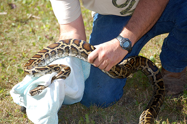A Burmese python...Photo Courtesy of Liz Barraco, FWC