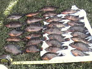 John Petersen lines up his bounty of invasive fish for the FWC's Nonnative Fish Catch, Click and Submit Contest. The Mayan cichlid is one of the many invasive species whose population increase is becoming a problem for the native habitats of Florida.