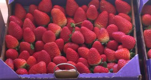 Ferris strawberries straight from the farm are sold in clamshells at Ferris Groves in Floral City, Florida from mid-October to April. The store also offers syrups, sauces, jams and jellies, as well as samples of fresh-squeezed orange juice. Garrett J. Mastronardi / WUFT News