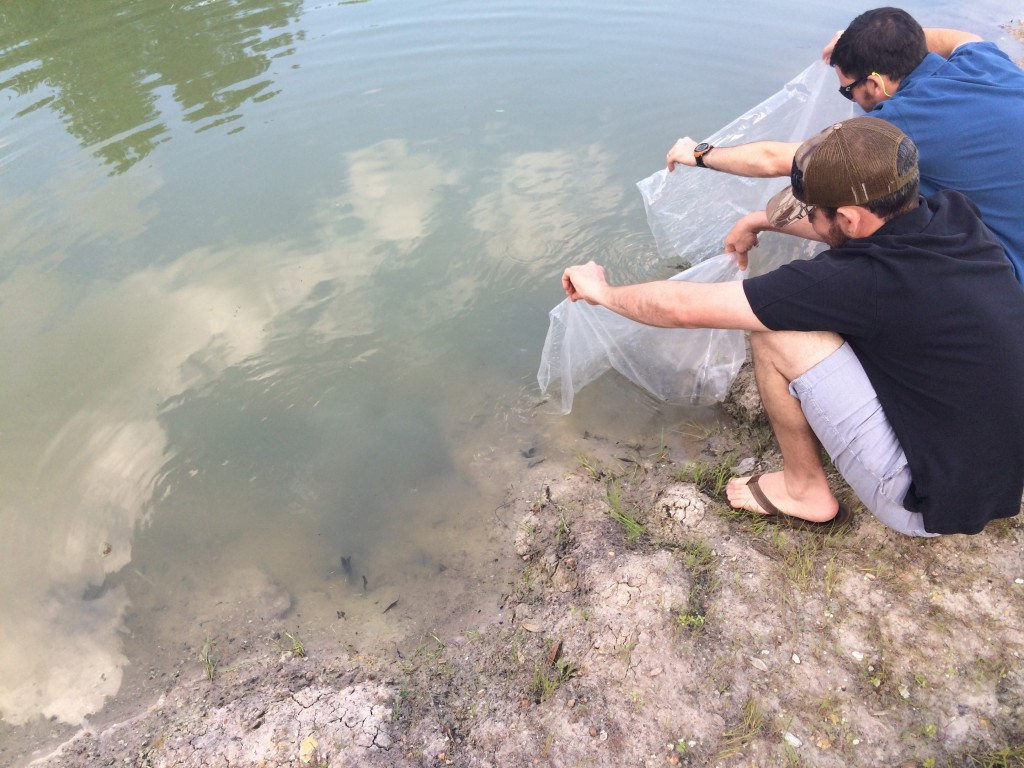Swamp Head Brewery, with the help of the University of Florida's Fisheries and Aquatic Sciences department, released 300 bluegills into what will soon become a self-sustaining wetlands. Photo courtesy of Brandon Nappy.