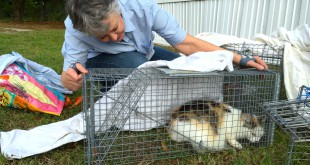 Molly McCann, 66, traps a wild calico cat Sunday evening. She works with Operation Catnip, a local organization that cares for Gainesville's community cat population by spaying or neutering and vaccinating them before releasing them back to their turfs.