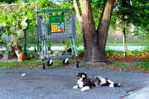 These cats are part of a wild colony that lives in the Palms of Archer, a mobile home park. Unafraid of people, the cats are still proving difficult for Operation Catnip to capture.