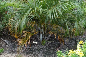 This palm tree has yellow, dying leaves which is a symptom of potassium and magnesium deficiencies that was caused by fertilizing this palm with turf fertilizer. This is a very common problem in Florida landscapes and Broschat's research has provided a way to prevent it. Photo courtesy of Tim Broschat