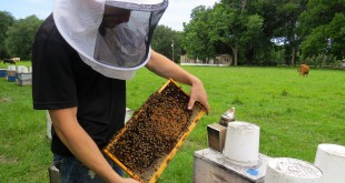 John Peterson, 23, owner of World Honey Market, pulls a frame of bees out of a hive body to check on honey production. He said he produced close to  30,000 lbs. of honey in 2013, but only produced half of that in 2014, which he  attributed to a shortage of nectar in the area.