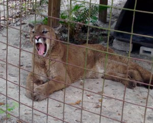 Sassyfrass, a male western cougar, yawns as she wakes up from her evening nap. Kept in a tiny backyard cage, his original owner beat him with a shovel, leaving him afraid of humans.