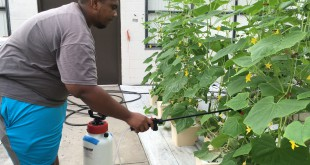 student Arthur Seabrooks waters cucumber plants Wednesday morning at the Loften High location in the greenhouse. Seabrooks, 18, said he enjoys everything about his program.