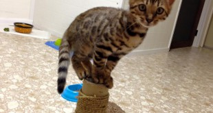 One of Rebecca Miller's Bengal kittens perched atop a scratching post inside her cattery. Photo courtesy of Rebecca Miller.