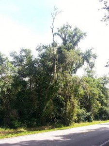 """A limp branch from a water oak sticks out from underneath the brush. The water oaks and other trees along Millhopper road have been plagued by death and disease, causing some to fall onto the street below. Photo courtesy of Heather Martin, Alachua County Public Works."""