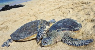 Two green sea turtles bask on a beach. Scientists say their nests have increased exponentially in Florida over the past two decades.