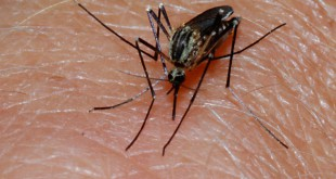 A wet summer has contributed to an increase in mosquitoes and the possibility of mosquito-borne diseases such as Eastern Equine Encephalitis.  Alachua County Health officials are urging people to take precautions before going outdoors, such as wearing long sleeves and applying insect repellent.