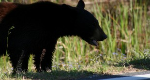 A black bear in Florida. Photo by switz1873/ Flickr