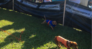 Two Dachshunds compete against each other trying to make it to the finish line at the first annual Halloweener Derby in Gainesville, Florida.  All the proceeds from this doggie race benefitted the Climb for Cancer foundation.