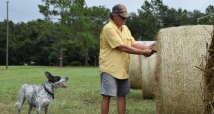 Hay farmer Carl Allison looks at the quality of the cow hay from one of his rolls. Allison has resorted to selling cow hay because the rain has cause his horse hay to become brown and too mature.