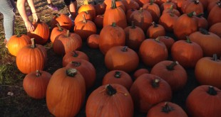 Alachua residents search for the perfect pumpkin to take home with them for the holidays. The pumpkin patch has seen a steep increase in sales in early October, compared with last year's numbers. (Courtesy/Megan Bultemeier)