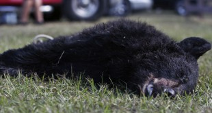 The body of the 26th black bear killed lies on the ground of the Ocala National Forest check station after Florida Wildlife Officials are called in response to the 88-pound cub on Saturday. The only bears that are legal to take are adult bears weighing over 100 pounds. (Andrea Cornejo/WUFT News)