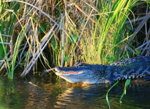 """Chris O'Connor's photo """"Gator on the St. Johns,"""" which is featured in the Artist Naturalists in Florida: Then and Now exhibit. The photo is one of about 45 works featured at The Doris. Photo Courtesy of Mallory O'Connor."""