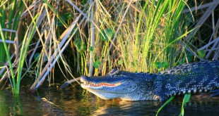 "Chris O'Connor's photo ""Gator on the St. Johns,"" which is featured in the Artist Naturalists in Florida: Then and Now exhibit. The photo is one of about 45 works featured at The Doris. Photo Courtesy of Mallory O'Connor."