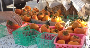 Renee Shiver organizes persimmons at her stand at the Union Street Farmers Market. She accepts SNAP benefits from shoppers, but at the Union Street Farmers market, shoppers with SNAP benefits are unable to utilize Fresh Access Bucks.
