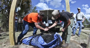 Florida Fish and Wildlife Conservation Commission Biologist Wade Brenner (left) and a volunteer unload a Florida black bear ready to be weighed at the check station located off of Forest Road 11 and CR 316 at the Ocala National Forest on Oct. 24. Although the hunt ended the next day after 295 bears were killed, speculation abounds as to whether baiting was behind that high number.  Andrea Cornejo/ WUFT News