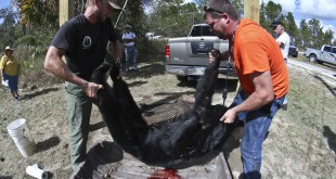 Florida Fish and Wildlife Conservation Commission Biologist Wade Brenner (left) and a volunteer unload a Florida black bear ready to be weighed at the check station located off of Forest Road 11 and CR 316 at the Ocala National Forest on Saturday. A bear must weigh a minimum of 100- pounds in order to be considered a legal kill. (Andrea Cornejo/ WUFT News)
