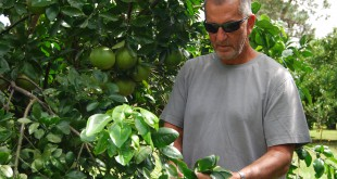 Melrose citrus farmer Marty Werts has been lucky. Unlike many others, his grapefruits have escaped the devastation of citrus greening.