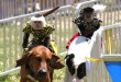 Monkeys ride dogs on a track at the Alachua County Fair during the Banana Derby. Some residents have complained that the event is inhumane to the primates. Photo courtesy of Phil Hendricks.