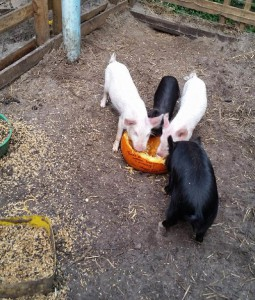 Pigs eat a donated pumpkin. Johnny Green has a small farm, including four pigs and 12 chickens. (Photo courtesy of Johnny Green)