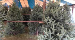 Christmas trees low in supply in North Central Florida for 2012 holiday