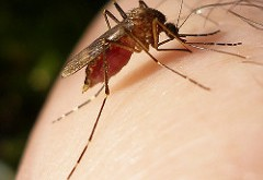 Gov. Rick Scott recently asked the Centers for Disease Control for additional help in preventing the spread of the Zika virus in Florida. The mosquito-borne virus has been linked to birth defects and various illnesses. (Photo courtesy of Eyeweed/Creative Commons Flickr)