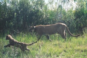 Florida panther with collar and cub. Photo courtesy of FWC website.