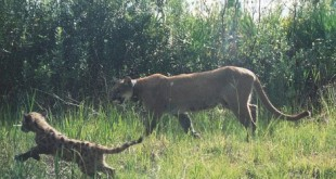 Florida panther with collar and cub. (Photo courtesy of FWC.)