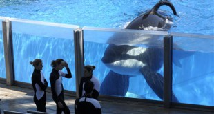 FILE - In this Monday, March 7, 2011, file photo, killer whale Tilikum, right, watches as SeaWorld Orlando trainers take a break during a training session at the theme park's Shamu Stadium in Orlando, Fla. SeaWorld is ending its practice of killer whale breeding following years of controversy over keeping orcas in captivity. The company announced Thursday, March 17, 2016, that the breeding program will end immediately. (AP Photo/Phelan M. Ebenhack, File)