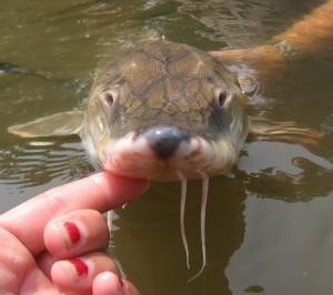 A Gulf sturgeon. (USFWS Endangered Species/Flickr)