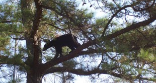 Despite higher black bear population numbers released by the Florida Fish and Wildlife Conservation Committee, the Center for Biological Diversity still plans to circulate a petition to declare the creatures endangered.  (Photo courtesy of Florida Fish and Wildlife)